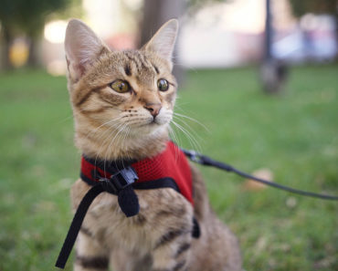 best harnesses for cats - featured